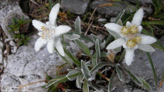 Disebut Edelweis Asli, Leontopodium Alpinum Tumbuh di Pegunungan Alpen Lho!