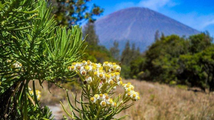 Bunga Edelweis di Gunung Welirang, Jawa Timur.(Bunga Edelweis di Gunung Welirang, Jawa Timur.