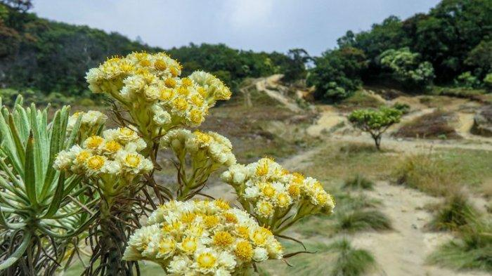 Berikut Fakta Menarik Seputar Edelweis, Bunga Abadi yang Dilindungi Negara