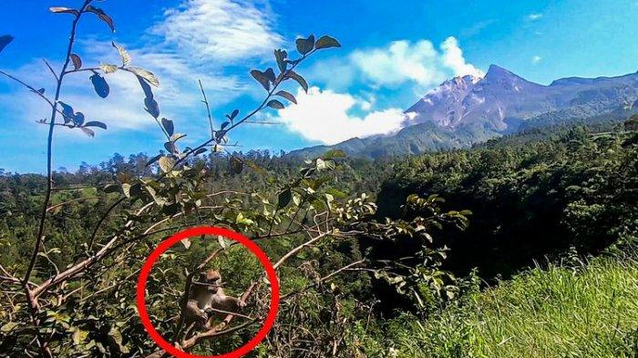 Monyet liar di wisata Deles Indah, Klaten.