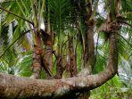 kelapa-cabang-sembilan.jpg