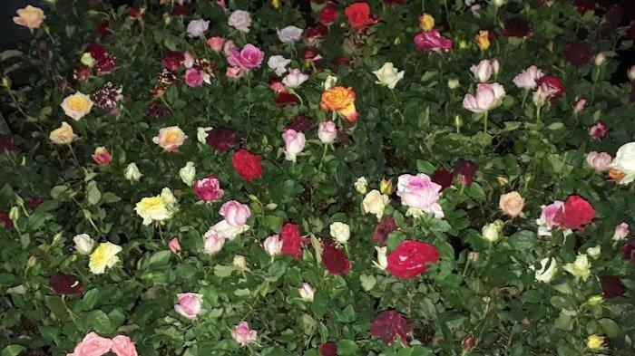 Tips Merawat Bunga Mawar Agar Rajin Berbunga
