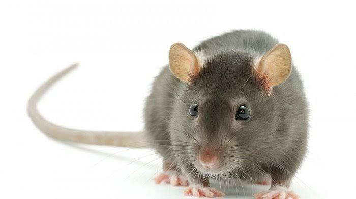 Cara Membasmi Tikus Tanpa Racun