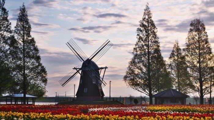 Turis Nekat Datang Selama Pandemi, 800.000 Tulip di Jepang Terpaksa Dipotong