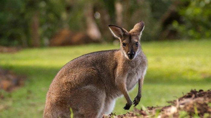 Fakta Unik Kanguru, Satwa Khas Australia yang Jadi Daya Tarik Turis