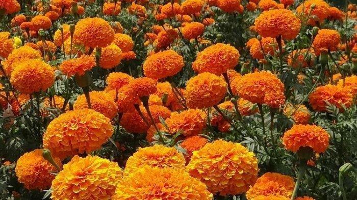 6 Tanaman Bunga yang Bisa Dijadikan Obat Herbal