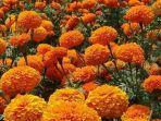 Bunga-Marigold.jpg