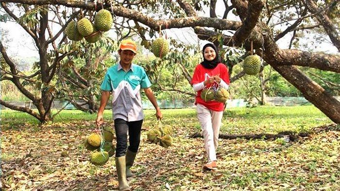Libur Akhir Tahun Makan Durian Matahari di Taman Buah Mekarsari