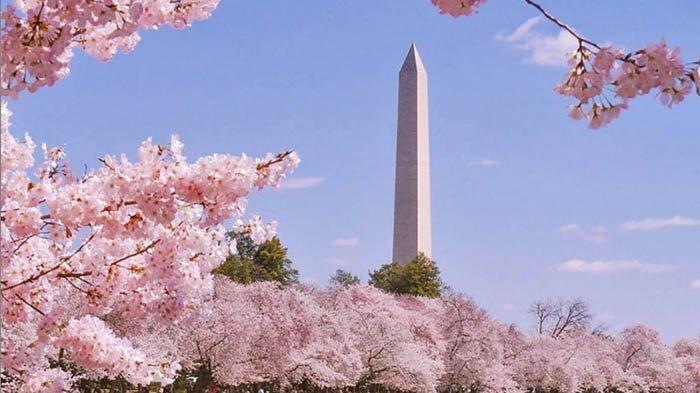 Yuk Melihat Bunga Sakura di Penjuru Dunia Tanpa Meninggalkan Rumah
